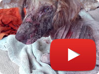 Rescuing a stray dog with major health and skin issues - Ahoo