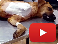 Update 1 on a rescued stray dog with smashed arm due to an accident - Arshin