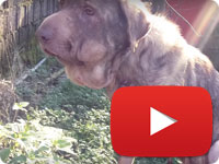 Update 7 on a rescued stray dog that was strangled with a rope on his neck - Delava